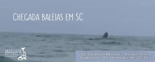 A chegada das baleias-franca no litoral brasileiro