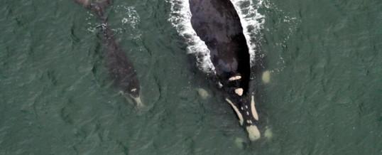 Monitoramento aéreo localiza 15 baleias no litoral de Santa Catarina