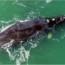 Baleias-francas começam a aparecer em praias do Sul de SC; especialistas explicam