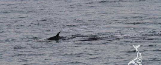 Interação entre orcas e baleias-franca é registrada pelos pesquisadores do Instituto Australis