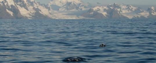 Os segredos da migração da baleia-franca-austral, uma espécie em recuperação