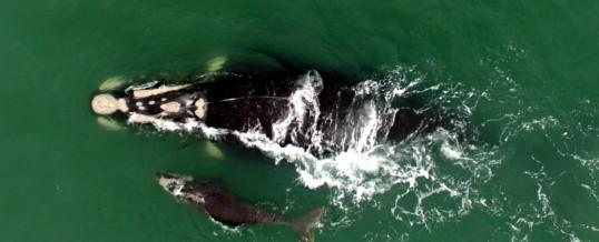 Baleia-franca com pedaço de rede preso na cabeça é monitorada pelo protocolo da Área de Proteção Ambiental da Baleia Franca/ICMBio